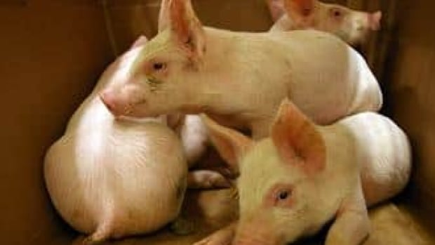 An outbreak of porcine epidemic diarrhea is killing young pigs in the U.S.