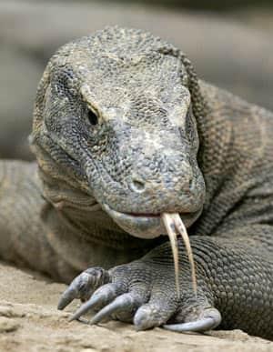 komodo-dragon-cp-6455253 Komodo Dragon Attacks Man