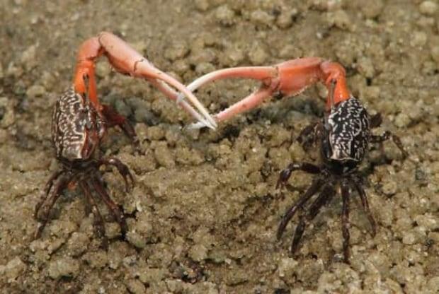 tech-fiddler-crab