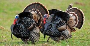 turkeys-wild-cp-00000892022