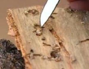 edm-larvae-pine-beetle