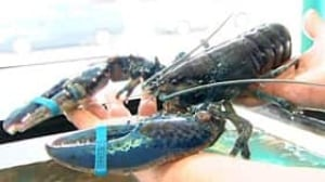 lobster-blue090709