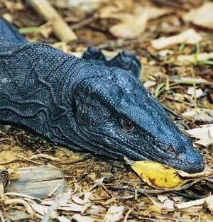 panay-monitor-lizard-cp-759