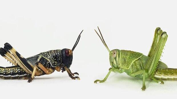 locusts-cp-6168023
