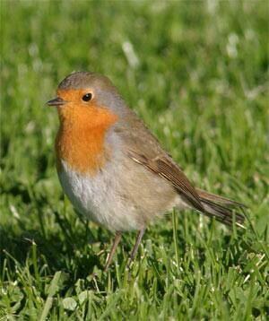 robin-bird-migration