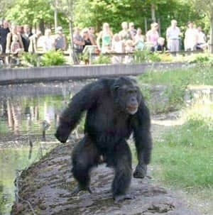 santino-chimp
