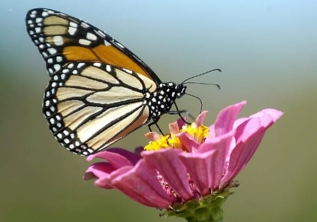 monarch-butterfly-cp-3649958