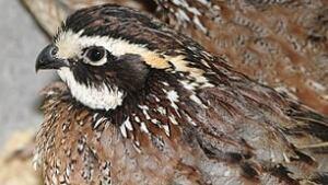 tech-090327-tp-bobwhite-quails