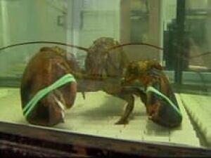 nb_lobster05