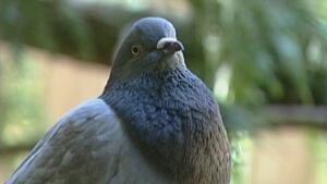 hi-bc-131023-tweety-pet-pigeon.jpg