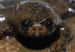 lunglessfrog