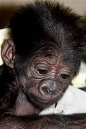 cgy-gorilla-new-1