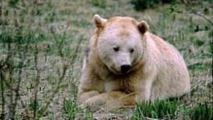 bc-081128-great-bear