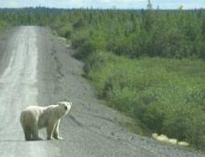 north-polarbear070813