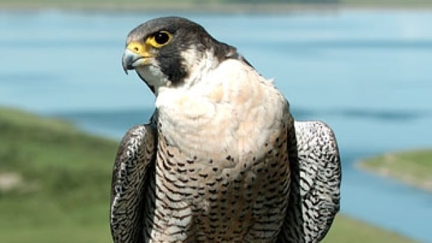 The Peregrine Falcon is known for its distinctive black hood and black 'sideburns.'