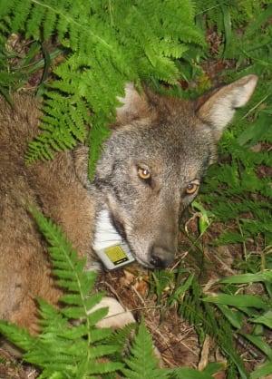 coyote-wolf hybrid
