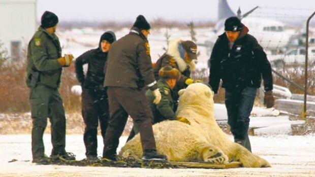 Natural resources staff capture a polar bear near Churchill, Man., on Monday.