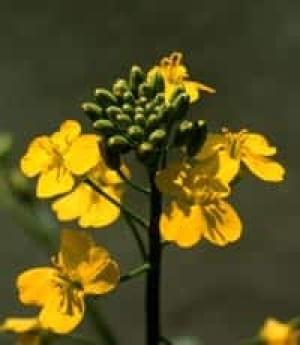 canola_flower
