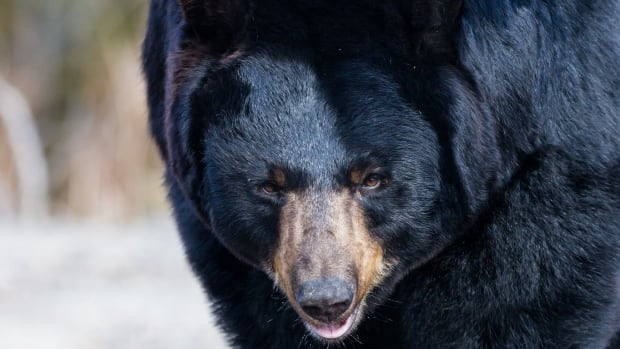 Homer the black bear was euthanized after suffering from age-related illnesses, including arthritis.
