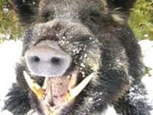 boars070104