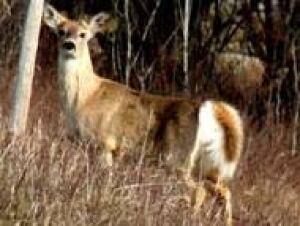 white-tail-deer070828