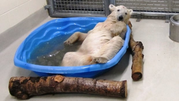 Assinboine Park Zoo announced it has installed a geothermal system to keep the polar bears in the Journey to Churchill exhibit comfortable, something this 11-month old polar bear cub seems to appreciate.
