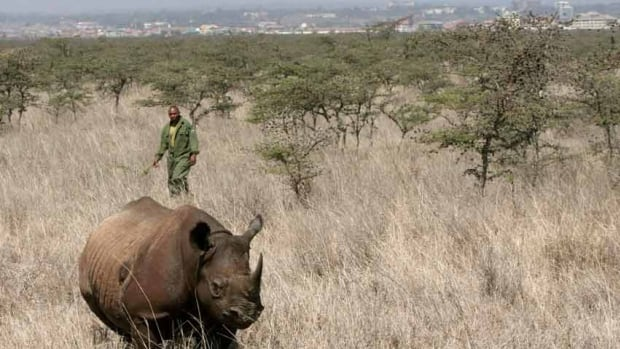 A wildlife warden approaches a tranquillized female black rhino in Nairobi. There are perhaps 5,000 black rhinos left in the world, mostly in a handful of African countries including South Africa and Namibia.
