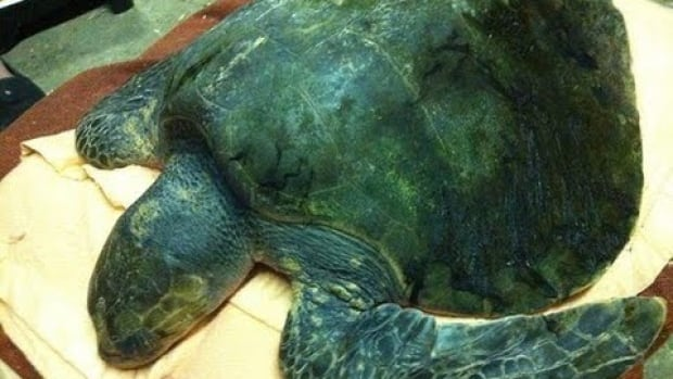 Frank, an Olive ridley sea turtle, was found by local crab fisherman off the shores of Prince Rupert on Friday, October 25, 2013