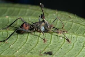 p-armata-ant-fungus