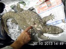 Gatineau police seize reptiles lizard Notre-Dame injured