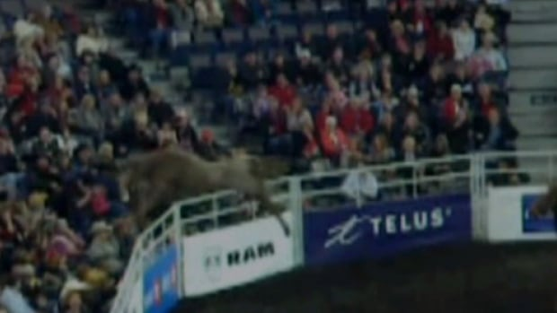 A bull jumping a fence at Edmonton's Rexall Place into a crowd during the Canadian Finals Rodeo is caught on a YouTube video.