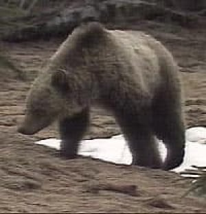 grizzley2_bear