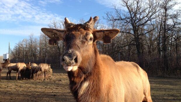 Bull at Stonewood Elk Ranch