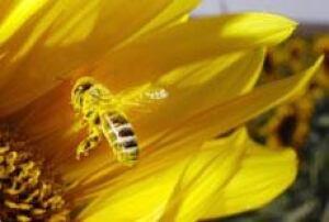 bee_pollen_cp_6137621