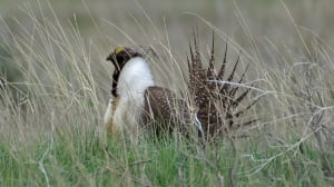 The sage grouse is a protected species under the Species at Risk Act, one of the areas of federal jurisdiction examined in the latest report by federal Commissioner of the Environment and Sustainable Development.