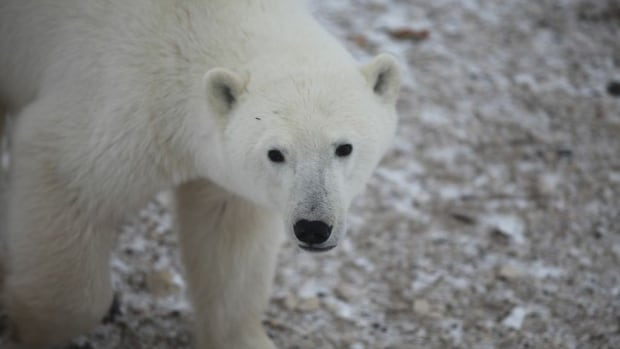 People in Taloyoak, Nunavut, are baffled that young polar bears are roaming into the community. 'In some cases, they were peeking into bedroom windows,' says Bob Lyall.