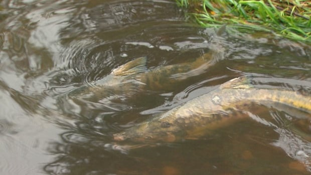 Chum salmon have returned to spawn in Still Creek in an industrial area of East Vancouver again this year.