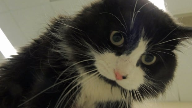 "During the Thunder Bay Animal Shelter's ""Love an Experienced Cat"" adoption event, people can adopt a cat for a discounted rate. Pictured is Quinn, a one- or two-year-old domestic long-haired black/white neutered male."