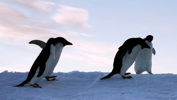 Adelie penguins are pictured at Cape Denison, Commonwealth Bay, in East Antarctica, January 6, 2010. Scientists say an estimated 150,000 Adelie penguins have been wiped out on Cape Denison in the five years since a giant iceberg blocked their main access to food.