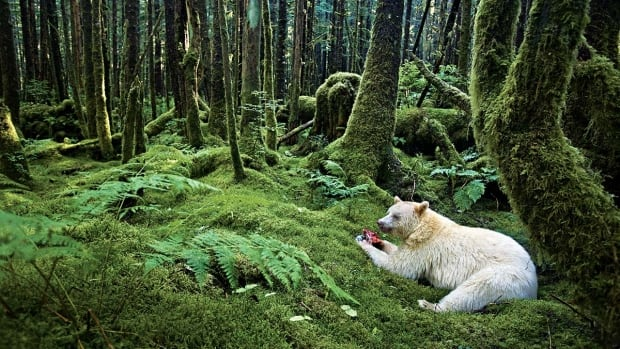 Watching Kermode or Spirit Bears is one of the top attractions in the Great Bear Rainforest region of B.C.