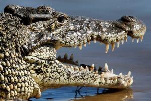 crocodile-RTR27ZA6