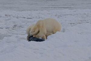 Polar bear feeding station