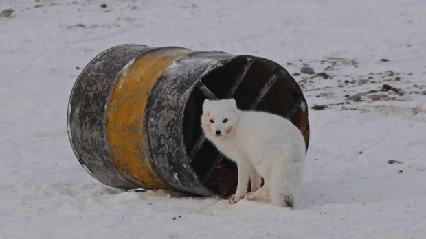 An Arctic fox outside Arviat, Nunavut, in November 2013. A fox has tested positive for rabies in Gjoa Haven, according to the territory's Department of Health.