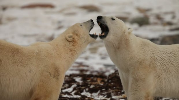 Polar Bears International is monitoring the bears' size, stature and reproduction with the help of both citizen scientists and professional researchers.