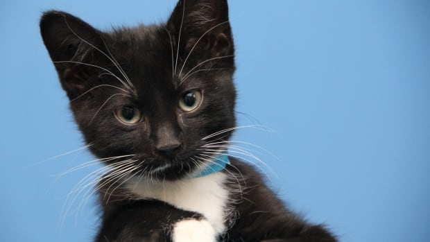 Famous cats will raise money for non-famous cats in Winnipeg Wednesday night at the Park Theatre in South Osborne.