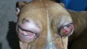 Dog abused eyes
