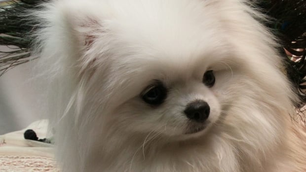 Pomeranians are a fashionable breed of dog in Vancouver's Yaletown. One of them has had several experiences with recreational and prescription drugs in recent months.