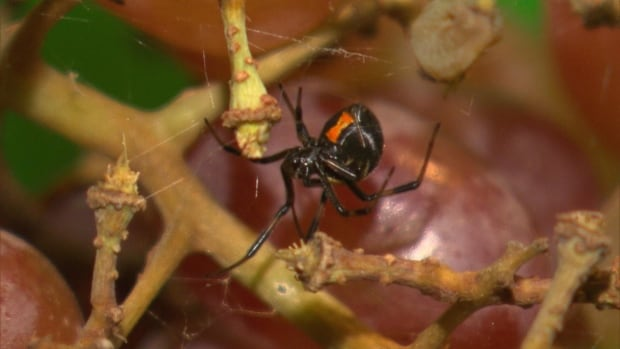 Spider experts say it is common to find spiders in the produce section of your local grocery store.