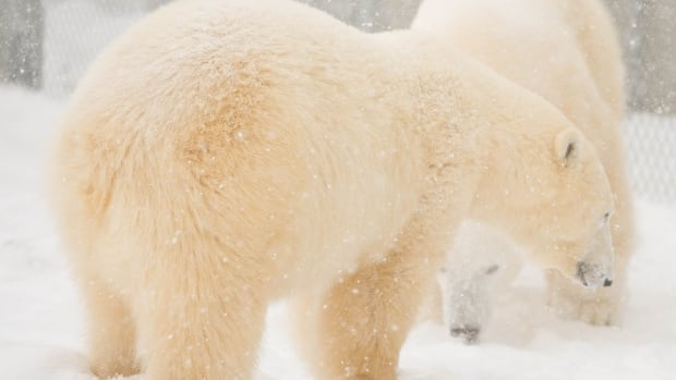 Hudson and Storm, two of the Assiniboine Park Zoo's polar bears, met for the first time in November. They will be part of the zoo's Journey to Churchill exhibit.