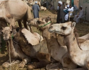 Mideast Egypt MERS and Camels